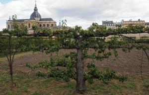 Pear Espalier Versailles P7302050