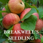 Ap Breakwell's Seedling1