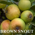 Ap Brown Snout 8